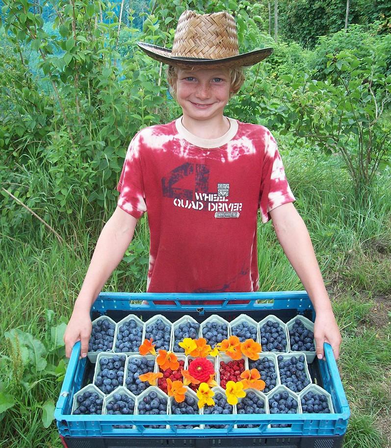 Blauwe bessen oogst